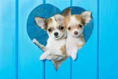 Chihuahuahunde, die aus einer Wand heraus schauen lizenzfreies stockbild