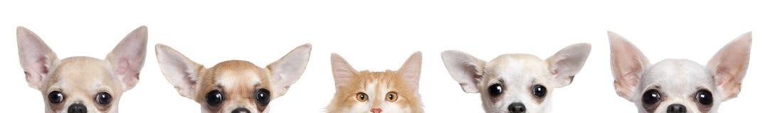Chihuahuahunde und -katze gegen weißen Hintergrund Lizenzfreies Stockfoto