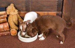 Chihuahuahunde und -Teddybär Lizenzfreie Stockbilder