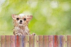 Chihuahuahundeblick durch Bretterzaun hinter nassem Glasfenster Stockfotografie