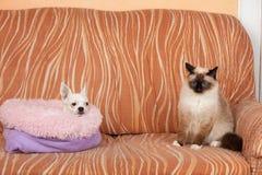 Chihuahuahunden och en skyddsremsapunktBirman katt ligger p? soffan arkivfoto