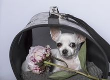 Chihuahuahunderasse in einem Stand und mit einer Pfingstrose stockfotografie