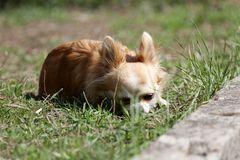 chihuahuahundhår long arkivfoto
