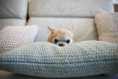 Chihuahuahundsammanträde på kudde inomhus arkivfoton