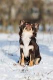 Chihuahuahundsammanträde på snö Royaltyfria Foton
