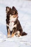 Chihuahuahundsammanträde utomhus i vinter Arkivfoto