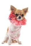 chihuahuakragepärla Fotografering för Bildbyråer