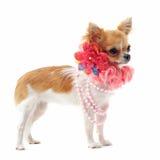 chihuahuakragepärla Royaltyfria Bilder