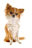 chihuahuakragepärla Royaltyfri Bild