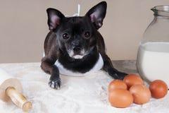Chihuahuamatlagning för svart hund Arkivbild