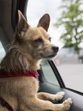 Chihuahuamengeling die met rode uitrusting binnen auto wachten royalty-vrije stock foto's