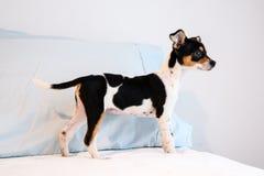 Chihuahuamischzuchtwelpe von drei Monate alten lizenzfreies stockfoto