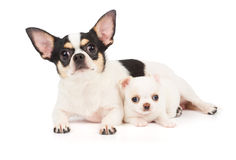 Chihuahuamoeder en zijn puppy Royalty-vrije Stock Foto