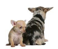 Chihuahuamutter und ihr Welpe, 8 Wochen alt Lizenzfreies Stockbild