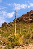 Chihuahuan沙漠匙子1 免版税库存照片