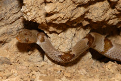 Chihuahuan Lyresnake Stock Photos