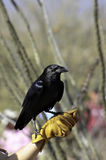 Chihuahuan Raven Royalty Free Stock Photography