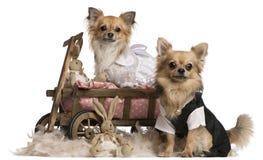 Chihuahuapaare, 2 Jahre alt, oben gekleidet Lizenzfreies Stockfoto