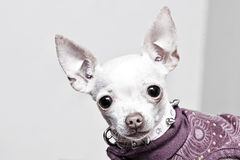 Chihuahuaportret Royalty-vrije Stock Fotografie