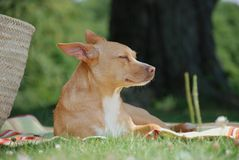 chihuahuaprofilsun Royaltyfri Foto