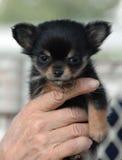 Chihuahuapuppy 169 Royalty-vrije Stock Afbeeldingen