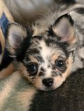 Chihuahuapuppy 187 Royalty-vrije Stock Fotografie