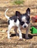 Chihuahuapuppy 194 Royalty-vrije Stock Afbeeldingen