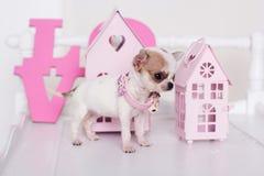 Chihuahuapuppy dichtbij roze decoratieve huizen Royalty-vrije Stock Fotografie