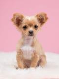 Chihuahuapuppy die leuk kijken Royalty-vrije Stock Afbeeldingen