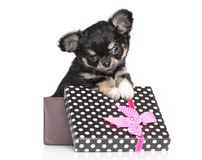 Chihuahuapuppy in giftdoos Stock Fotografie