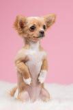 Chihuahuapuppy het bedelen Stock Foto