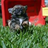Chihuahuapuppy het spelen Royalty-vrije Stock Afbeelding