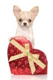 Chihuahuapuppy met rood hart Royalty-vrije Stock Fotografie