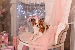 Chihuahuarosa färger fotografering för bildbyråer