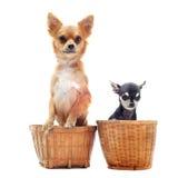 chihuahuas δύο Στοκ Φωτογραφία