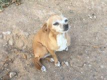Chihuahuas λυπημένα στο σπίτι μου ! Στοκ φωτογραφία με δικαίωμα ελεύθερης χρήσης