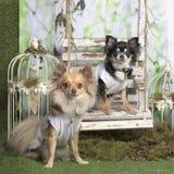 Chihuahuas με το άσπρο πουκάμισο Στοκ Φωτογραφίες
