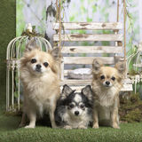 Chihuahuas που εξετάζει τη κάμερα Στοκ φωτογραφία με δικαίωμα ελεύθερης χρήσης