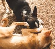 Chihuahuas που παίζει και που είναι χαριτωμένο Στοκ Φωτογραφίες