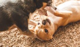Chihuahuas που παίζει και που είναι χαριτωμένο Στοκ φωτογραφίες με δικαίωμα ελεύθερης χρήσης
