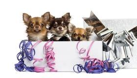 Chihuahuas σε ένα παρόν κιβώτιο με τις ταινίες, στοκ φωτογραφία με δικαίωμα ελεύθερης χρήσης