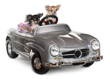 Chihuahuas, 1 and 3 years old, driving Royalty Free Stock Image