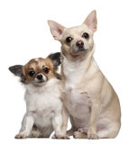Chihuahuas, 1.5 years old and 1 year old Royalty Free Stock Photo