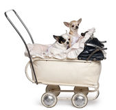 Chihuahuas, 1 year old, in baby stroller Royalty Free Stock Photos