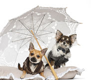 Chihuahuas, 1 year old, sitting under parasol Royalty Free Stock Image