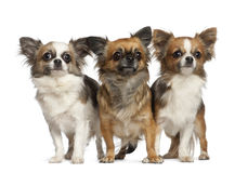 Chihuahuas, 1 year old, standing Stock Photos