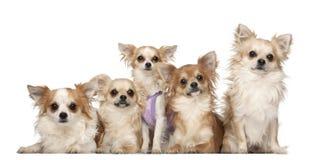 Chihuahuas, 10 maanden en 3 jaar oud, het zitten Royalty-vrije Stock Foto's
