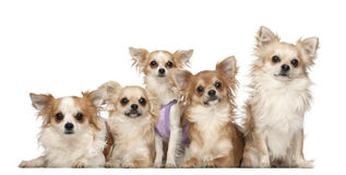 Chihuahuas, 10 months and 3 years old, sitting Royalty Free Stock Photos