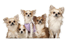 Chihuahuas, 10 months and 3 years old, sitting Stock Photo