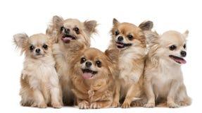 Chihuahuas, 14 anos velhas, 11 anos velho, 5 anos Imagens de Stock Royalty Free
